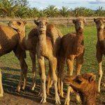 Camel Farm Helping in Australia